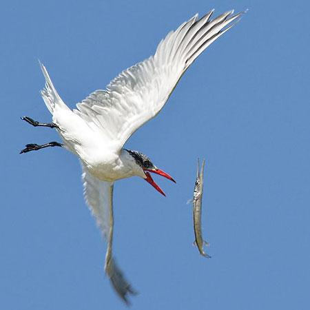 Rio Lagartos, Meksyk: Caspian Tern and Needlefish