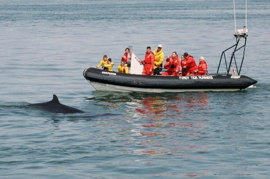 เซนต์แอนดรู, แคนาดา: Fundy Tide Runners Whale Watching, Saint Andrews, New Brunswick, Canada