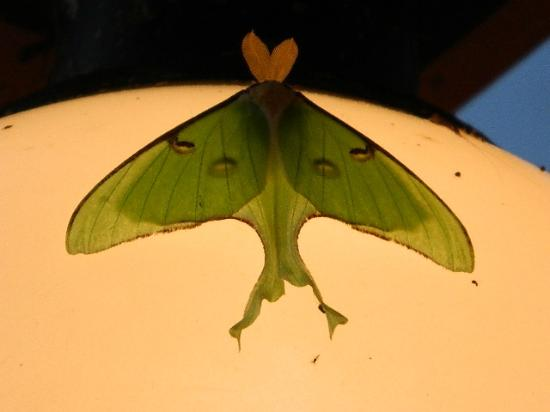 River Point Resort & Outfitting Co.: Luna Moth