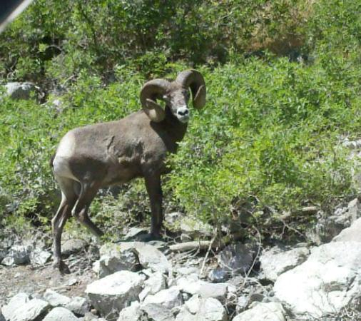 Snake Dancer Excursions : Lots of wildlife to be seen in Hells Canyon like Big Horn Sheep