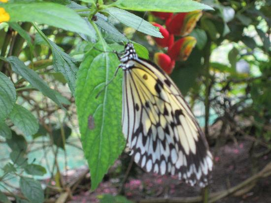 Siquijor Butterfly Sanctuary : now a full bloom butterfly
