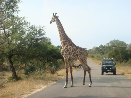 Kruger Park Lodge: kruger national park ziraff crossing road