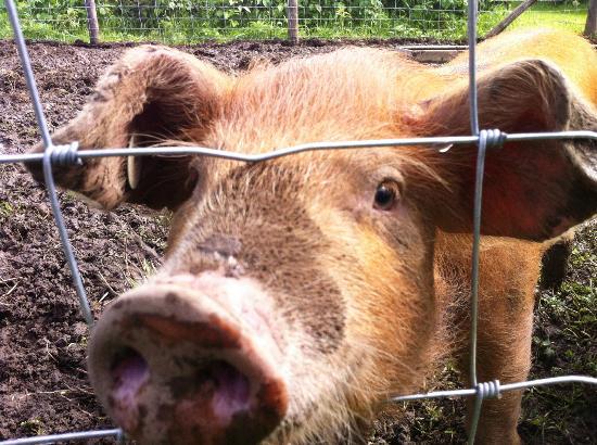 The Hawthornes: Resident pig