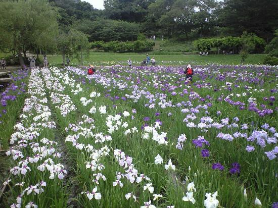 Yokosuka City Iris Flower Garden