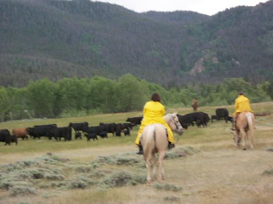 Vee Bar Guest Ranch: Moving cattle!