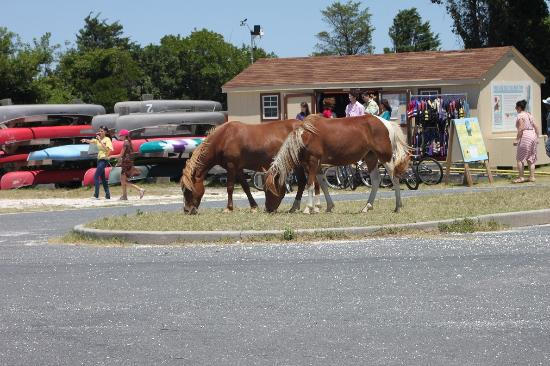 Bayside bike rental w hooved visitors picture of for Cabins near assateague island