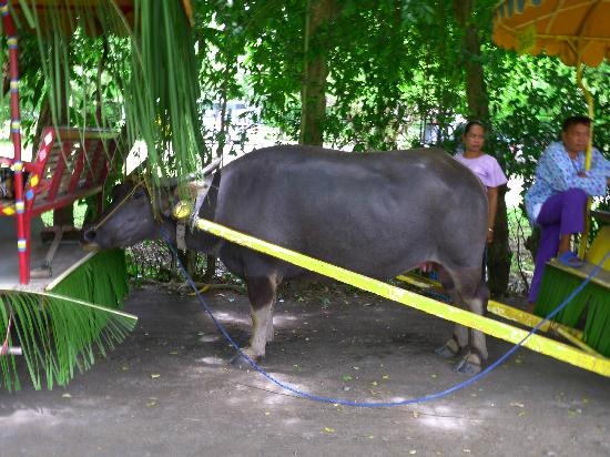 Villa Escudero Resort: We were shuttled from the reception area in water buffalo-drawn carriages