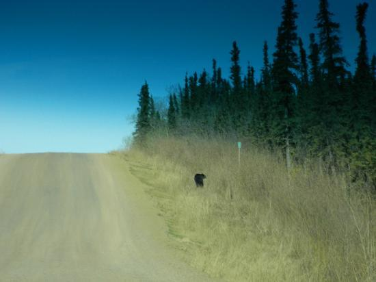 1st Alaska Outdoor School: A black bear strolling along the road....