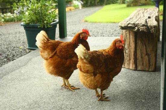Kerikeri Holiday Cottages - Ragdoll & Black Cat: The chickens