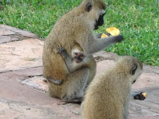 Diani Reef Beach Resort & Spa: monkeys are great in the afternoon very funny