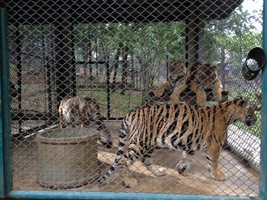 Tigers in cage chiang mai picture of tiger kingdom chiang mai mae rim tripadvisor - Tiger in cage images ...