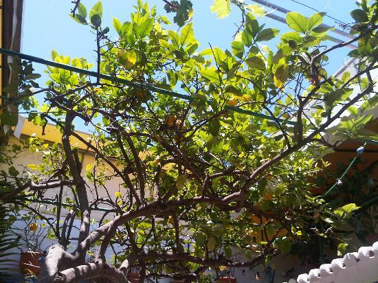 Casa Da Fonte : Lemon tree and grape vines