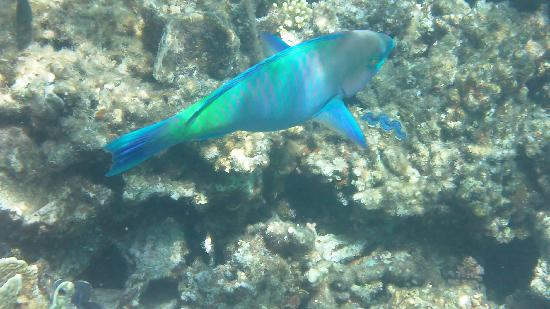 Fish in the red sea picture of premier le reve hotel for Red sea fish