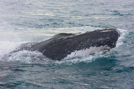 Naturaliste Charters: Humpback Whale in Flinders Bay