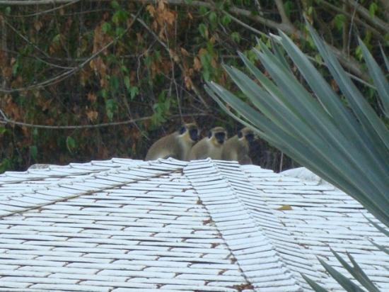 Mullins Heights Villas: Little Monkeys playing every morning