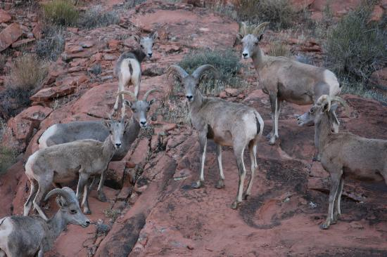 Valley of Fire State Park: Big Horn Sheep/Rams we saw during evening hike