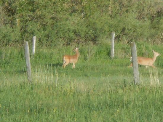 Gallatin River Grill: deer in the field