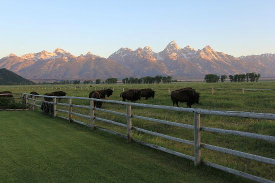 Moulton Ranch Cabins: Teton sunrise with the Bison