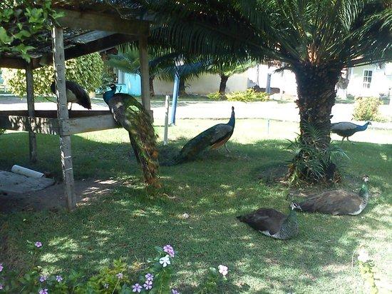 Resort Pau Brasil Praia: olha os pavões ai que lindos