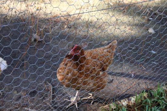 Healesville Garden Accommodation: One of the friendly chooks awaiting breakfast every morning.