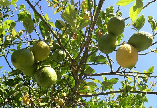 Birikos Studios: lemon tree in garden