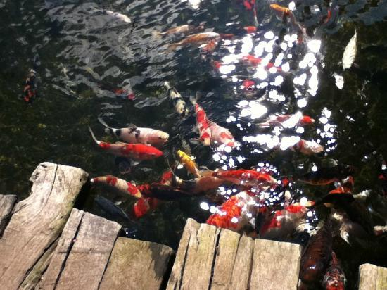 Jadul Village Resort & Spa: koi in the pond surrounding the lobby area