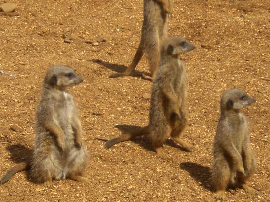 meerkats watching plane over head - Picture of Colchester Zoo ...: https://www.tripadvisor.co.uk/LocationPhotoDirectLink-g190735...