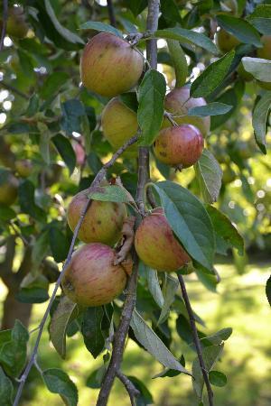 Ash House Hotel: Help yourself Apples - wonderful