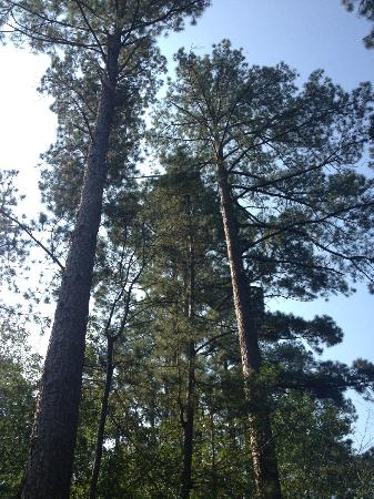 Holly Hill Homestead B&B: East Texas Pine Trees
