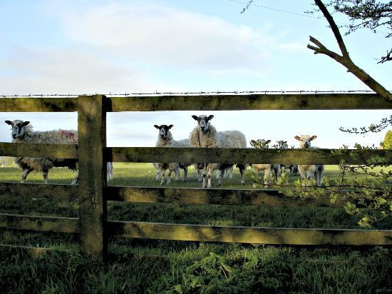 Pickersgill Manor Farm Bed and Breakfast : Sheep are very curious creatures!