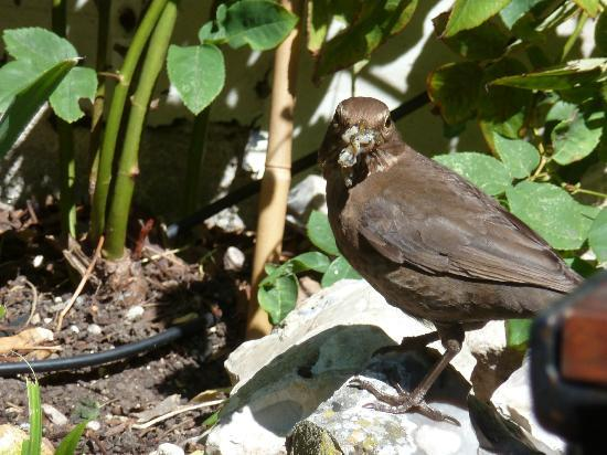 BEST WESTERN Red Lion Hotel: Female blackbird with a tasty snail in the courtyard