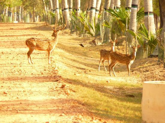 Bhitar Kanika National Park: deers on the way to the camp