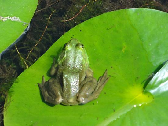 Spa Eastman: Froggies in the pond
