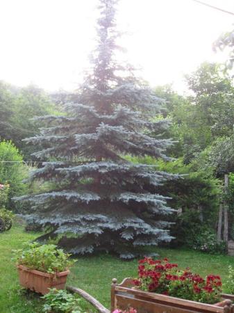 Silenzio e Buio: pino grigio nel giardino