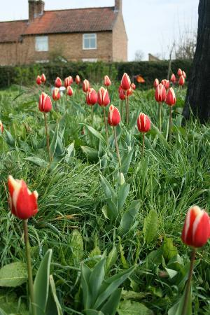 Tulips at Dutch House