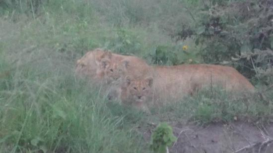 Encounter Mara, Asilia Africa: lion cubs