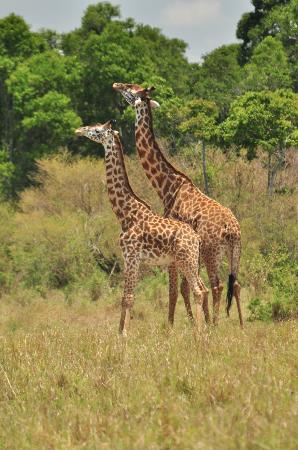 andBeyond Bateleur Camp: male giraffes battling it out with their necks