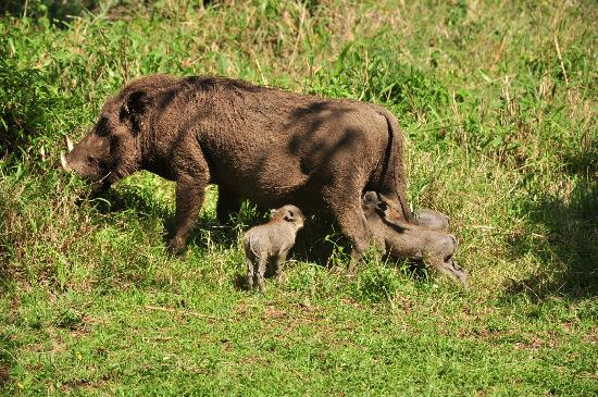 andBeyond Bateleur Camp: wart hog and babies outside my tent