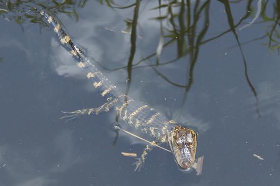 Coopertown Airboats: juvenile swimming towards boat