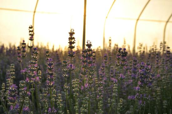 NEOB Lavender - Niagara Essential Oils & Blends : filename__dsc_0318_jpg_thumbnail0_jpg