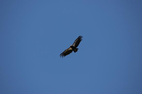 Touch the Southwest: California Condor #7 soaring over the Canyon