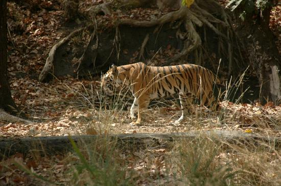 Bandhavgarh National Park, Indien: Tiger spotting