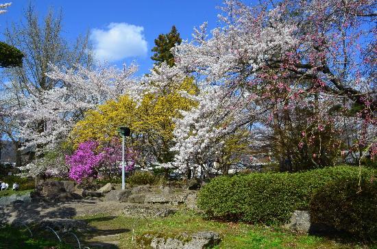 Takashima Castle: 桜の花がきれいです