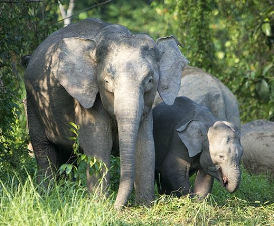 Osman's Homestay: Pigmy elephants