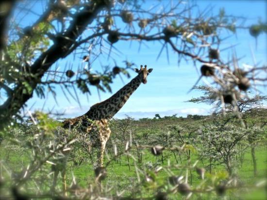 Encounter Mara, Asilia Africa: One of a herd of at least 50 giraffe