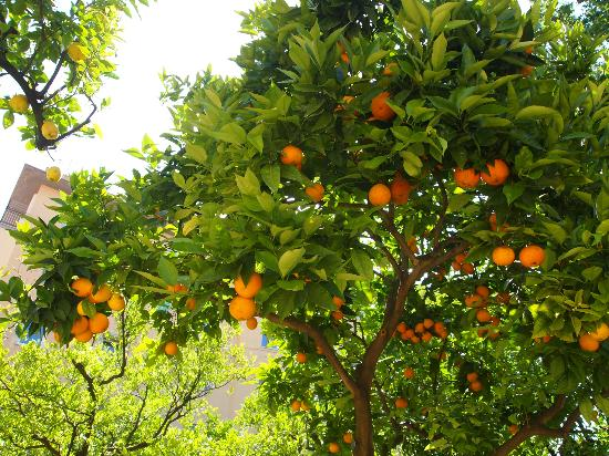Antiche Mura Hotel: The beautiful orange and lemon grove around the pool