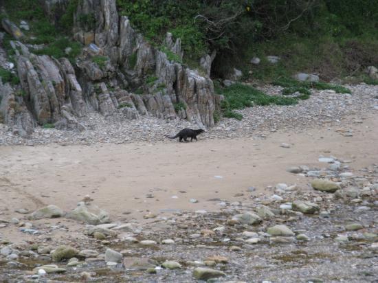 Knysna, Sør-Afrika: Cape Clawless Otter