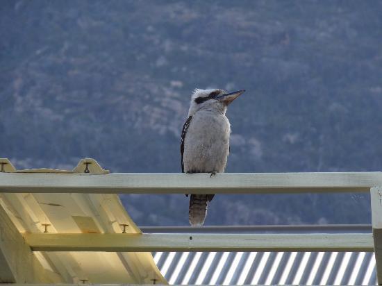 Kookaburra Motor Lodge: Resident Kookaburra
