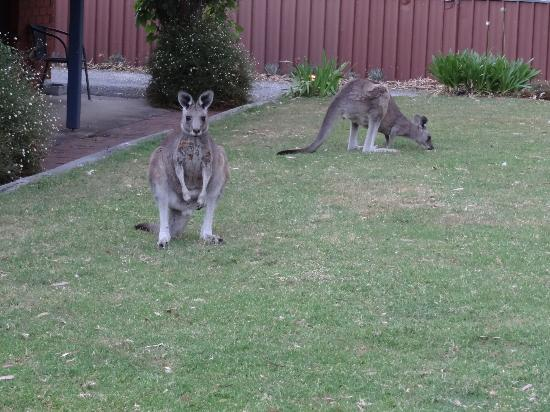 Kookaburra Motor Lodge: Kanagroos on the front lawn