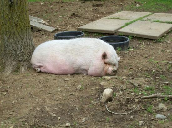Cherry Brook Zoo Inc.: Sleepy Pig
